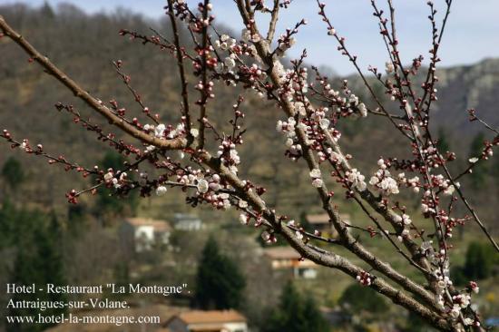 antraigues , arbre en fleurs